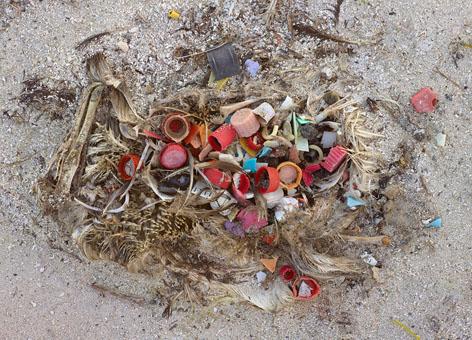 Dead albatross Midway Atoll